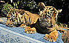 Sumatran Tigers
