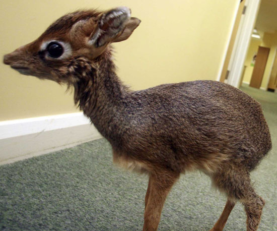 Standing Small: Peep the World's Tiniest Baby Antelope