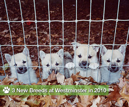 Meet the Three New Breeds We'll See at the 2010 Westminster Dog Show