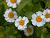 Feverfew Used in Cosmetics