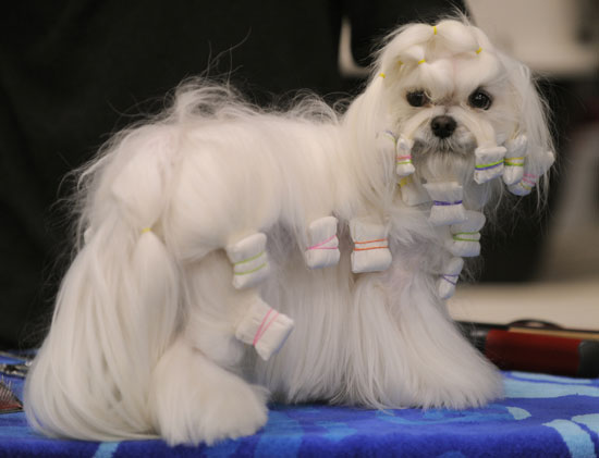 It's Almost Time — Peep Pretty Pups Prepping for Westminster
