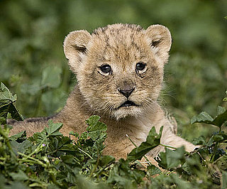 Lion Cubs in Tel Aviv