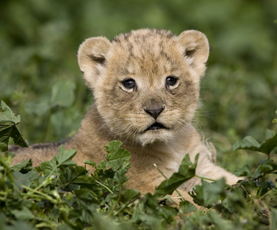Can We Make This the Year of the Lion (Cub), Too?
