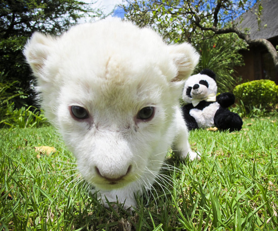 White Lion Born in Pretoria