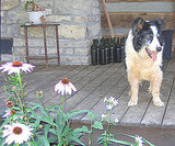 Shaggy Dog and Wildflowers