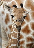 Carlo the Baby Giraffe