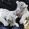 Baby Tigers, Boston Terriers and More Things We Saw This Week