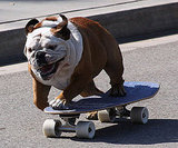 Tillman the Skateboarding Dog Has a Guinness World Record
