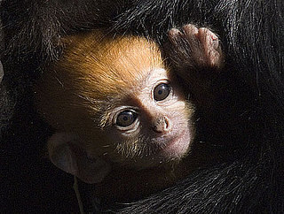 Pictures of Francois Langur Monkeys
