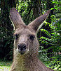 Lovelorn Kangaroo Stalks Women in Australian Outback