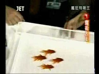 Synchronized Goldfish Video