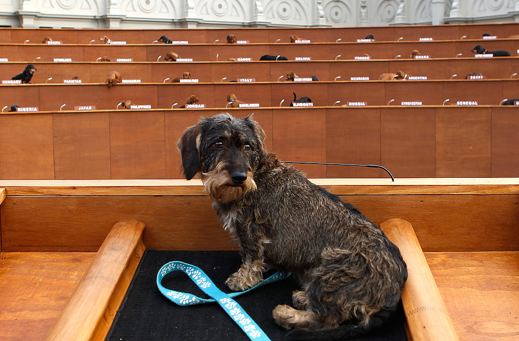 Dachshunds Show Up For Duty at UN Meeting