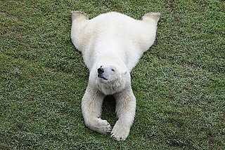 Pictures of Polar Bears at Zoo