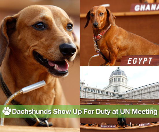 Pictures of Dachshund UN Exhibit
