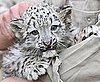 Pictures of Baby Snow Leopards