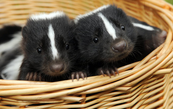 Don't Make Such a Stink, These Baby Skunks Are Sweet