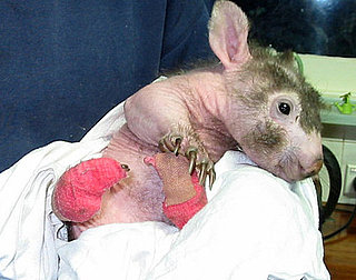 Pictures of Hairless Wombat