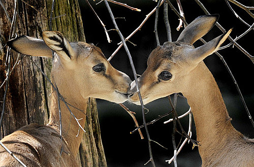 Pictures of Animals Kissing