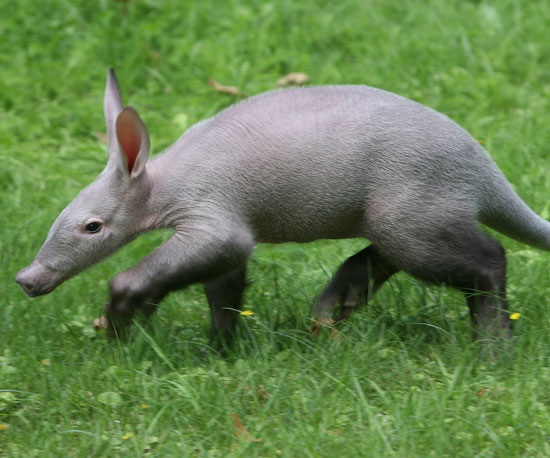 """A"" Is For Aardvark, ""B"" Is For Baby Aardvark, So It's Time to ""C"""