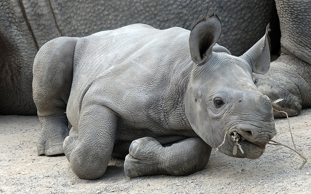 Facts About Black Rhinoceroses