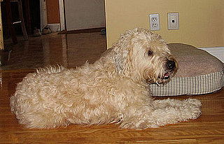 Soft Coated Wheaten Terrier Trivia