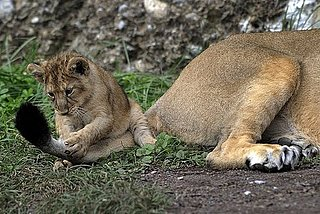 Pictures of Lion Cubs