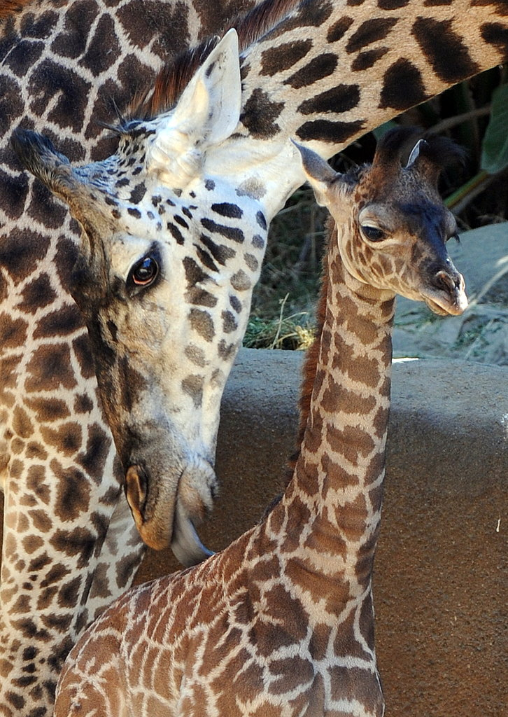 Hi Shani! Naema and the LA Zoo Welcome Masai Giraffe Calf