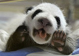 Pictures of Pandas at Madrid Zoo