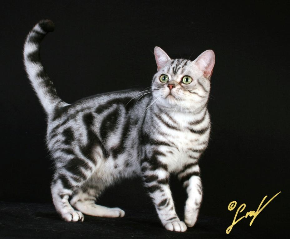 New Jersey's Cat: American Shorthair