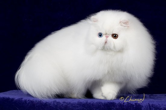 Connecticut's Cat: Persian