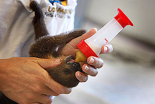 Pictures of Baby Sloths and Bottle Feeding