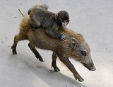 Pictures of a Monkey on a Boar