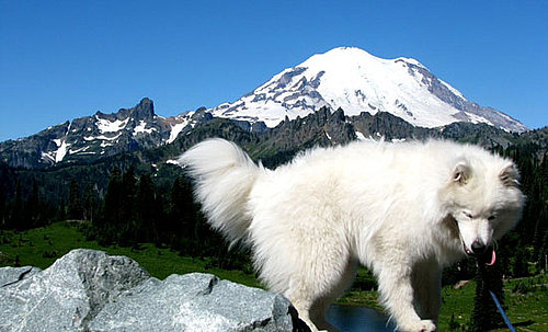 Samoyed Breed Facts