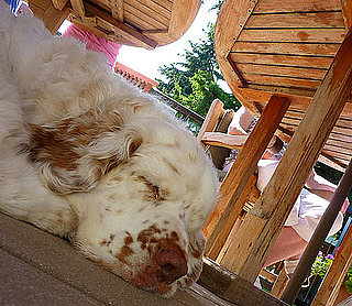 Clumber Spaniel Breed Facts