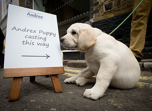 Andrex Puppy Audition For New Labrador Retriever Face of the British Toilet Paper Brand