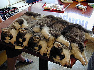 Pictures of Puppies Sleeping on the Table