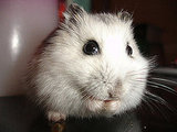 A Russian dwarf hamster named Scooby. Too cute! Source: Flickr user cdrussorusso