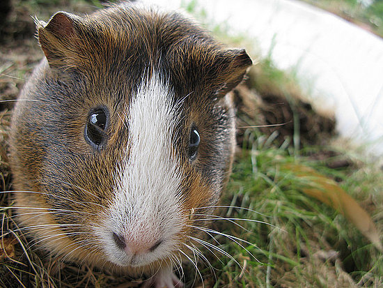 Awww . . . guinea pigs are precious! Source: Flickr user photon ℽ