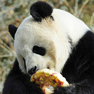 Pictures of Giant Pandas at National Zoo