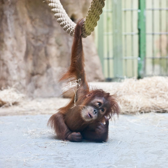 Duran, the Cutest Orangutan Ever!