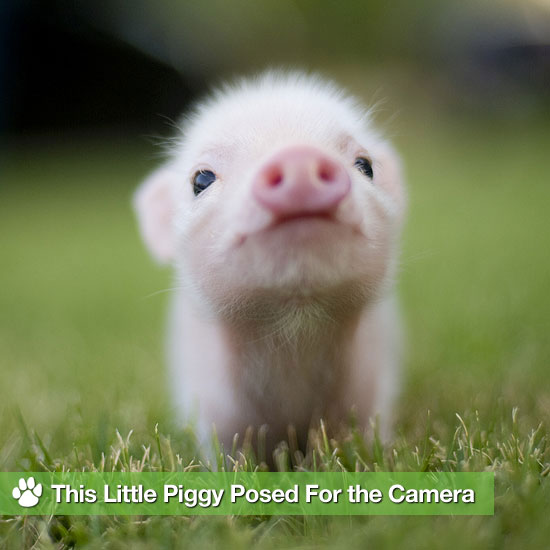 This Little Piggy Posed For the Camera