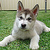 Facts About Alaskan Malamutes