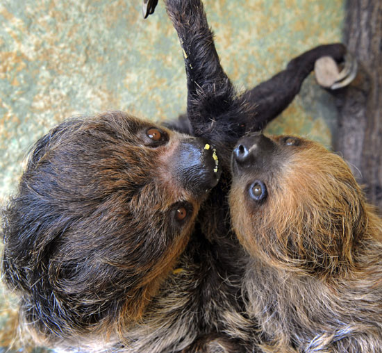 Although sloths spend a majority of their time in trees, they are surprisingly good swimmers!