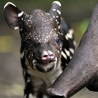 Pictures of South American Tapir