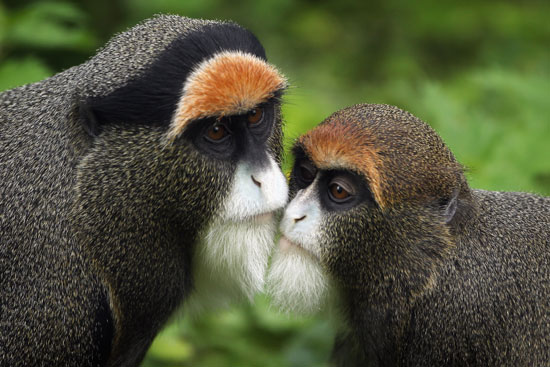 De Brazza monkeys nuzzling cheek to cheek.