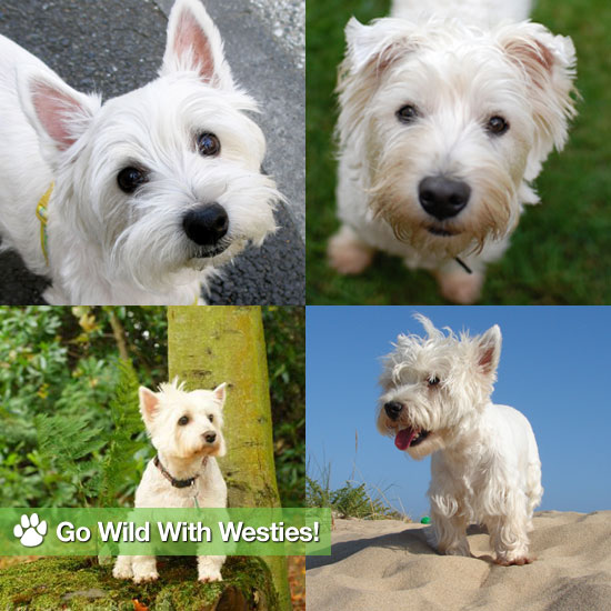 Go Wild With Westies