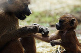 Too cute! A baboon mommy feeding baboon baby.