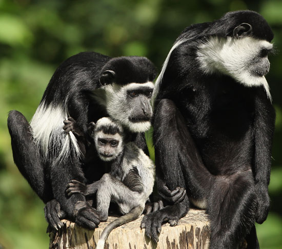 Colobus monkeys are typically the loudest animals at the zoo: males make croaking roars that can be heard throughout their treetop environment.