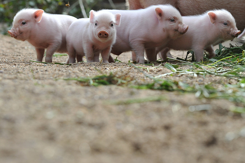 Four Little Piggies