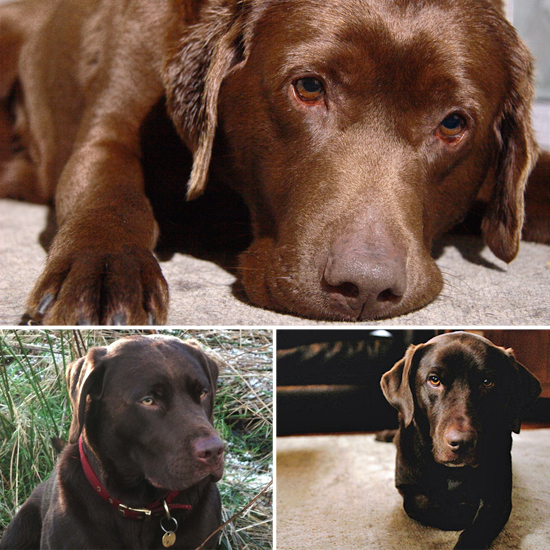 Cute Alert: Sweet Chocolate Labs